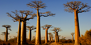 Reisetipp Madagaskar - Allee der Baobabs / © Office National du Tourisme de Madagascar