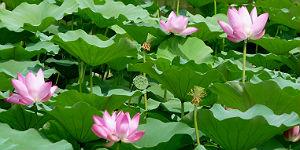 Berauschendes Blütenfest in Hangzhou