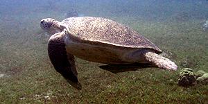 Taba Heights lockt Taucher mit seltenen Meerestieren
