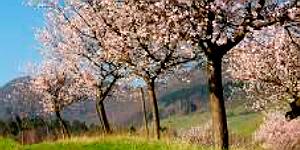 Südliche Weinstrasse - rosaroter Mandelblütenzauber im März