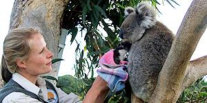 Lizzie Corke versorgt einen Koala in der Great Ocean Eco Lodge