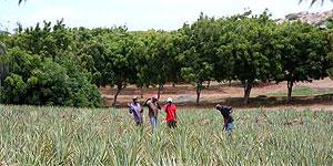 Die Aloe Vera-Plantage auf Curaçao
