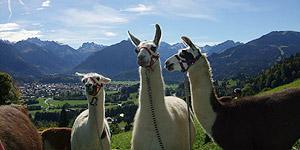 Wandern mal anders: Mit Lama oder barfuß Oberallgäu