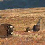 Geheimtipp Trøndelag: Elche und Bären in Norwegen